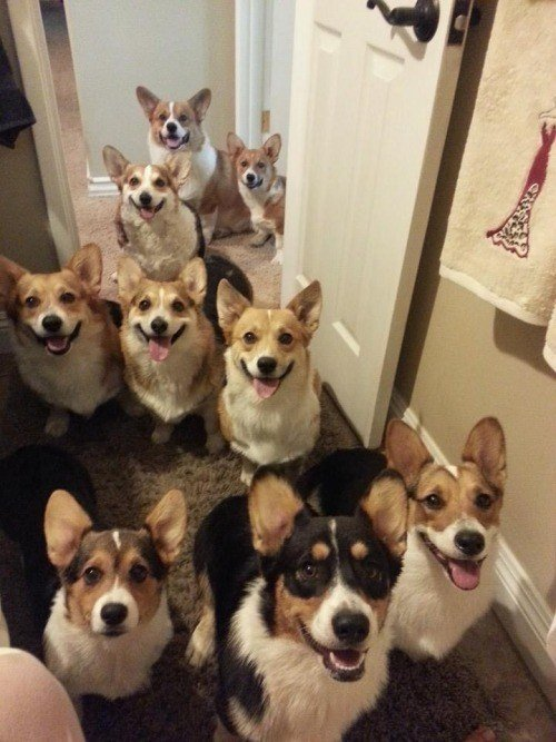 9 corgis out of 10