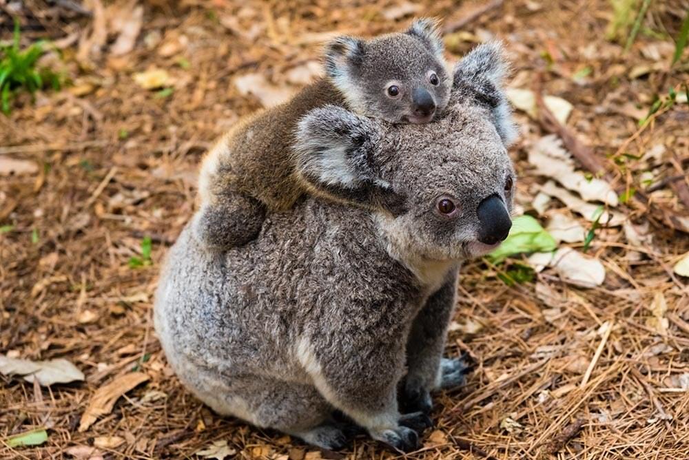 Photo credit: https://donate.wwf.org.au/campaigns/adopt-a-koala/